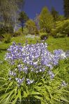 Photo Bluebells Ronning Garden Vancouver Island