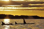 Photo Killer Whales Vancouver Island