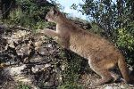 Exhibiting similar behaviour as a domestic cat, a mountain lion will lay in wait and pounce on its prey.