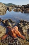 Photo West Coast Starfish