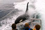 Photo Northern Vancouver Island Killer Whale Watching