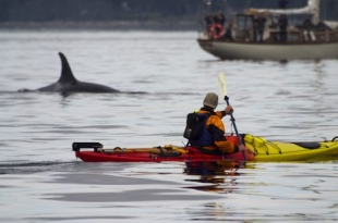 Orca whale watching off Northern Vancouver Island in British Columbia, Canada by kayak.