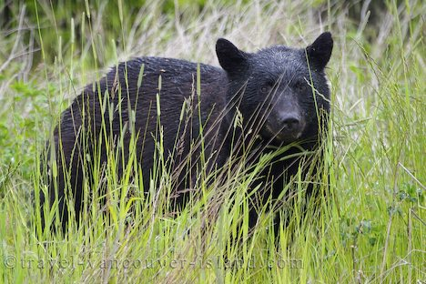 Photo: Black Bear BC