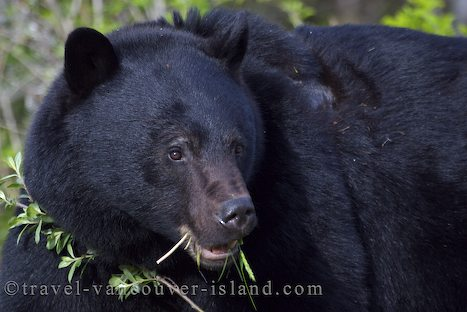 Photo: Black Bear Vancouver Island