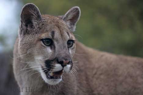 Photo: Information Cougar Mountain Lion Felis Concolor