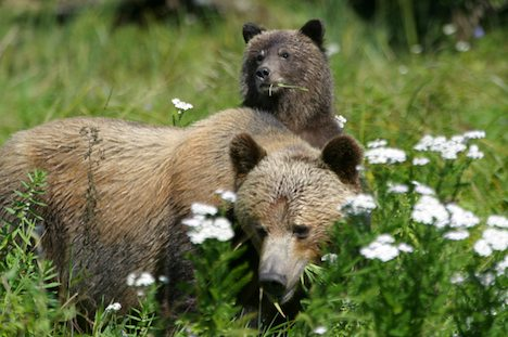Photo: Grizzly Bears Of Knight Inlet British Columbia