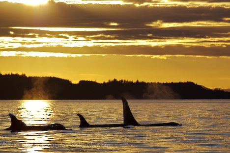 Photo: Killer Whales Vancouver Island