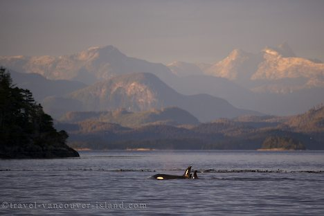 Photo: Orca Whale With British Columbia Coast Landscape
