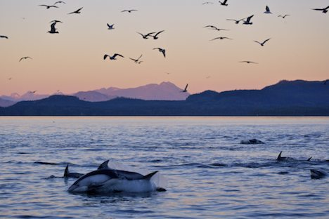 Photo: Sunset Dolphins Johnstone Strait BC