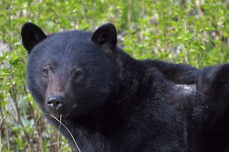 Photo: Ursus Americanus Black Bear Picture