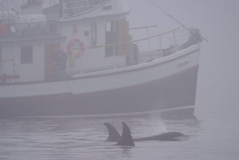 Photo: Vancouver Island Whale Watching Tour