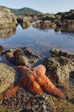 Photo: West Coast Starfish