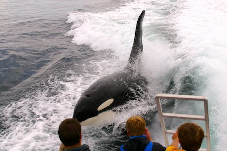 Photo: Northern Vancouver Island Killer Whale Watching