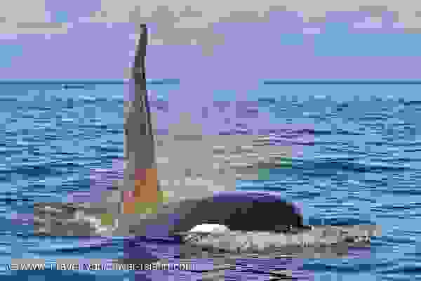 Photo: Picture Of A Mystic Orca Whale