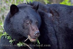 Picture of a black bear grazing on grass along Highway 19 on Vancouver Island, British Columbia