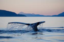 Picture of a humpback whale tail fluke in Johnstone Strait, British Columbia