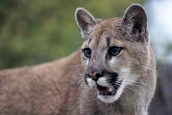 Picture of a cougar mountain lion on Vancouver Island