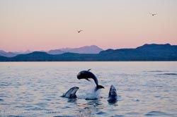 Picture of a group of Pacific White Sided Dolphins leaping from the water off Vancouver Island, British Columbia